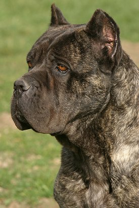 Cane Corso Faq Frequently Asked Questions