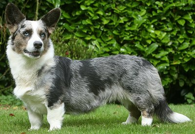 Cardigan Welsh Corgis: What's Good About 'Em? What's Bad ...