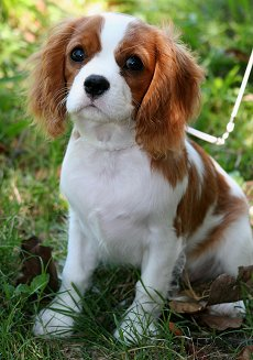 Cavalier king charles spaniels whats good and bad about em cavalier king charles spaniel dog breed altavistaventures Images