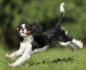Seems me, Adult cavalier king charles spaniels for sale
