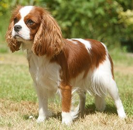 Cavalier King Charles Spaniel FAQ: Frequently Asked Questions About ...