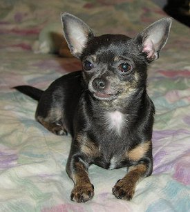 Chihuahuas Advice You Can Trust