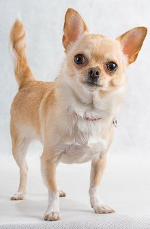 Chihuahua Dog Breed Review (good & bad traits) Chihuahua Training