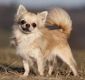 What Is The Best Puppy Food For Chihuahuas