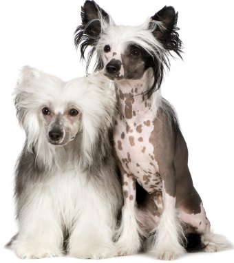 Chinese Crested Dogs - Powderpuff and Hairless