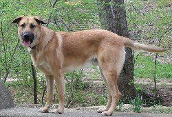 Chinook dog breed