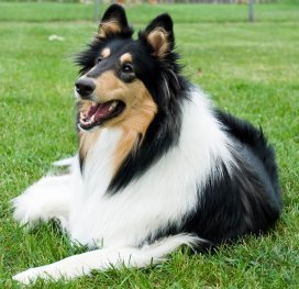 Image result for collies