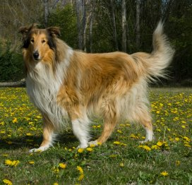 Rough And Smooth Collie Health Problems Feeding