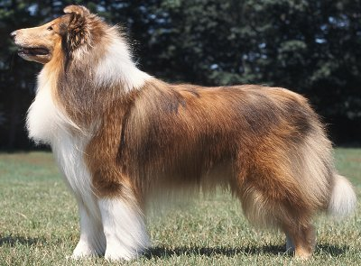 Scottish Collie dog breed