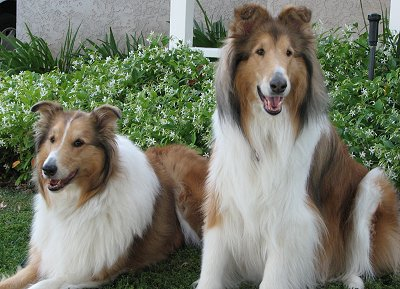 Rough or Smooth Collie dog breed