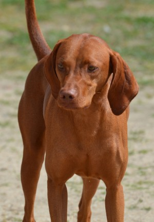 Coonhound