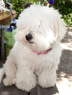 Coton de Tulear dog breed