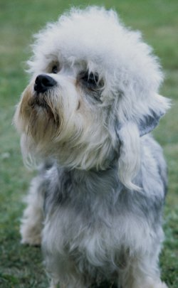 dandie dinmont terriers what s good about em what s bad about em