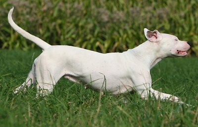 Argentine Dogo dog breed