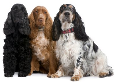 English Cocker Spaniels: What's Good About 'Em, What's Bad