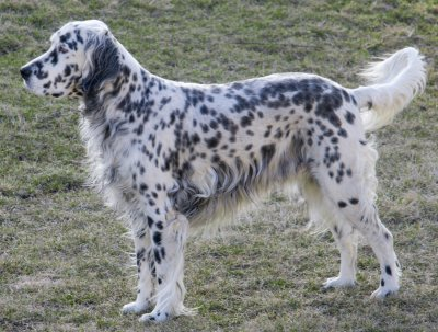English Setters Whats Good About Em Whats Bad About Em