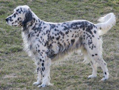 Small Field Dog
