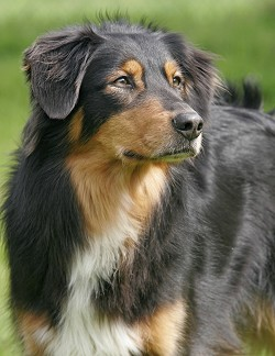 English Shepherd dog breed