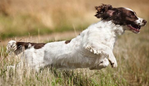 English Springer Spaniels: What's Good About 'Em, What's Bad