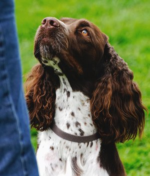 picture How to Care for English Springer Spaniels