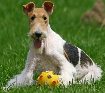 Fox terrier breed traits