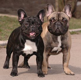What breeds make up a french bulldog