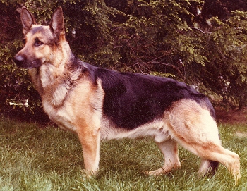 German Shepherd Faq Frequently Asked Questions