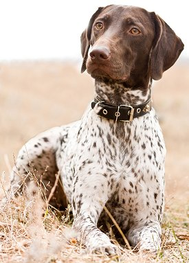 German Shorthaired Pointer dog German Wirehaired Pointer Training Videos
