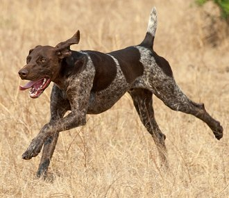 Buying Or Adopting A German Shorthaired Pointer