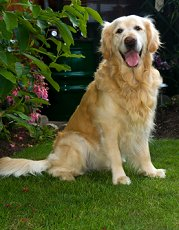 Golden Retrievers What S Good About Em What S Bad About Em