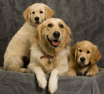 buying a golden retriever buying or adopting a golden retriever 9368