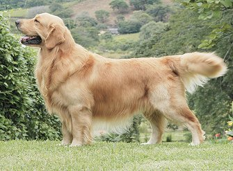 Weight of golden retriever male