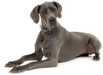 Home → Dog Breeds → Great Dane (German Mastiff)