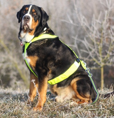 Greater Swiss Mountain Dog Health Problems