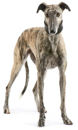 Greyhound dog breed