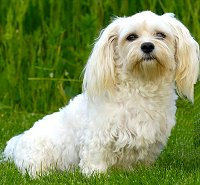 Havanese What S Good About Em What S Bad About Em