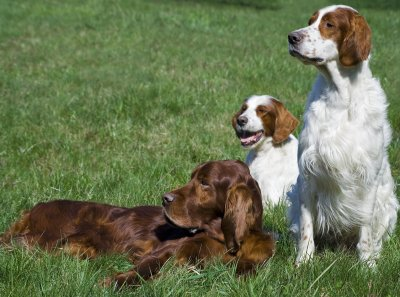 Training Irish Setters Irish Setter Training