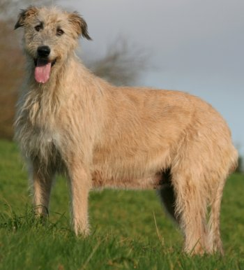 Irish Wolfhound Health Problems | Feeding | Raising a Healthy Puppy