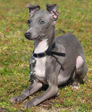 Buying Or Adopting An Italian Greyhound