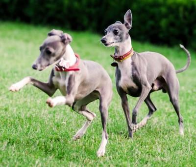 Italian Greyhound Health Problems Feeding