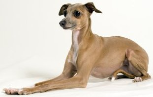 Italian Greyhound dog breed