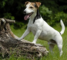 Adult jack russel terrier picture 986