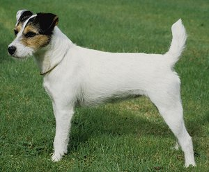 Parson Jack Russell Terrier dog breed