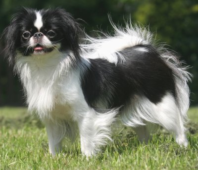 Japanese Chin dog bree...