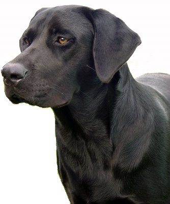 Pure Dog Breeds That Look Like Labs