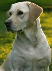 Labrador Retrievers What S Good About Em What S Bad About Em