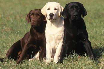 labrador retriever breeders