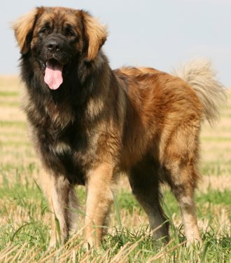 Leonberger dog breed