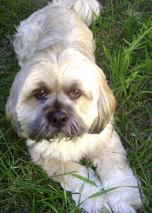Lhasa Apso Faq Frequently Asked Questions