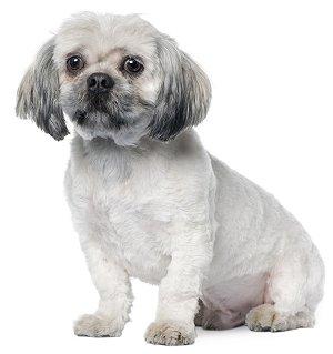Training Lhasa Apsos Sensible Dog